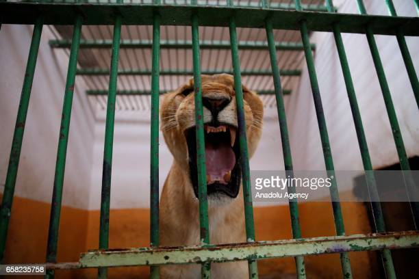 Lions previously owned by Iraq's ousted President Saddam Hussein's son Uday Hussein are being sheltered at Al Zawra Park's zoo in Baghdad Iraq on...