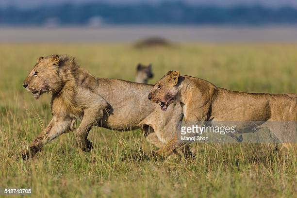 Lions running to attack