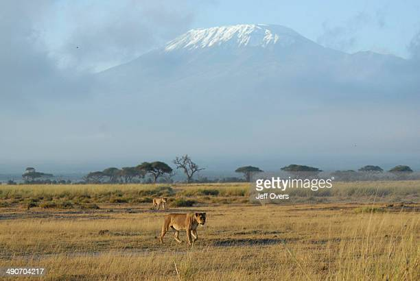 Lions walk across the grassland of the Amboseli National Park Kenya The Park is on the border with Tanzania and Mount Kilimanjaro overlooks the Park...