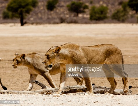 Lions walking across plains in Kgalagadi game park, South Africa : Stock Photo