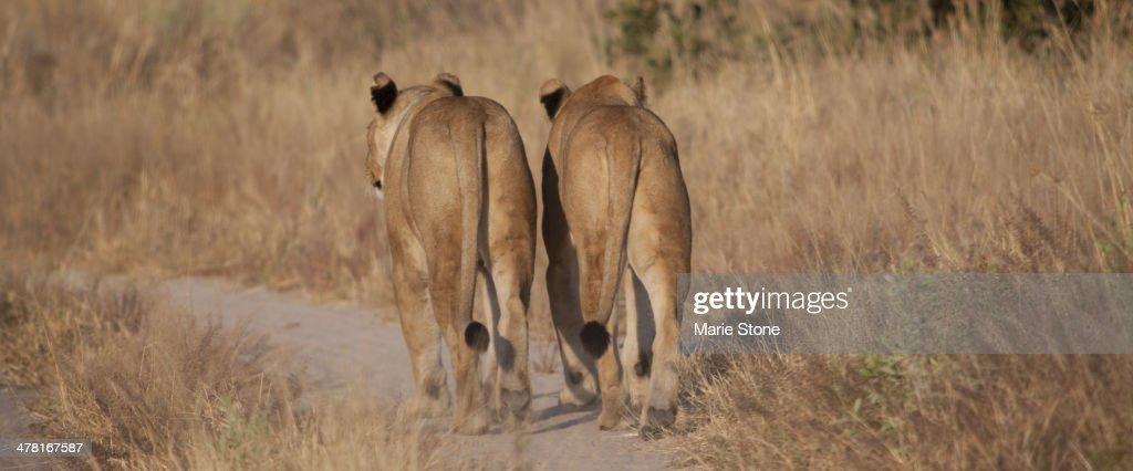 Lions walking on dirt path : Stock Photo
