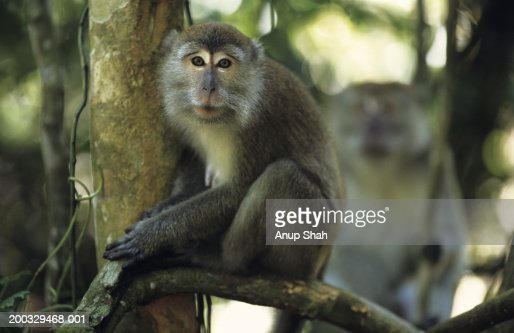 Lion-tailed macaque (Macaca silenus) sitting on twig, Gunung Leuser National Park, Indonesia