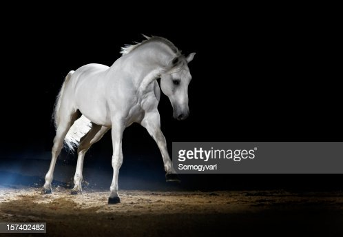 Lipizzaner horse playing