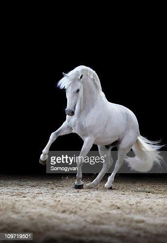 Lipizzaner horse stallion playing