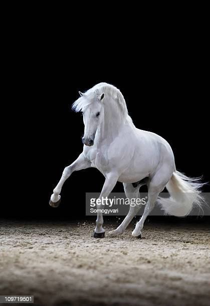 Lipizzaner horse stallion playing