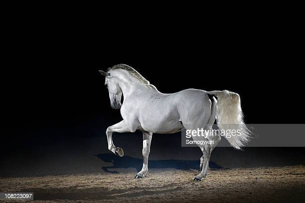 Lipizzaner horse trotting free