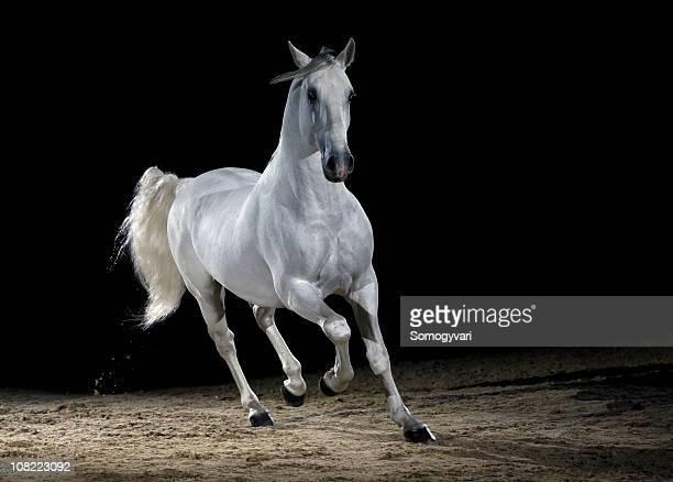 Lipizzaner horse trotting
