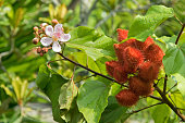 Closeup photo of lipstick tree, Achiote pink flowers and seed pods in red (Bixa orellana) in the garden in Singapore