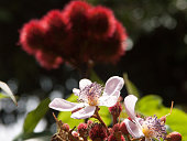 The lipstick tree fruit and flower of Zanzibar