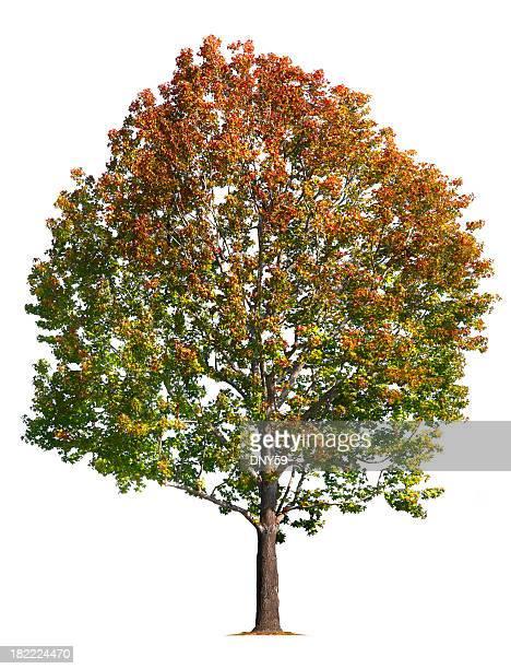 amerikanischer amberbaum stock fotos und bilder getty images. Black Bedroom Furniture Sets. Home Design Ideas