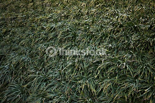 Liriope Muscari Stock Photo Thinkstock