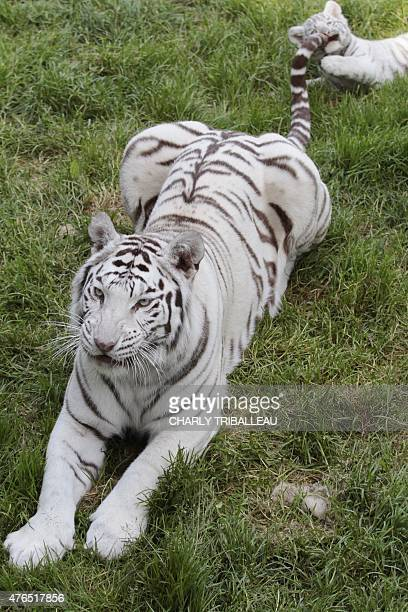 Lisa the tiger mother and one of her three twomonthold baby white tigers rest on the grass at the Cerza zoo in HermivallesVaux northwestern France on...