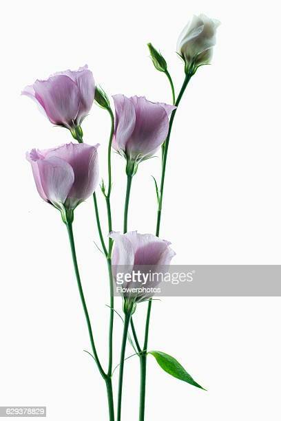 Lisianthus Eustoma russellianum Piccolo Rose Studio shot of multiple flower heads arranged on light box