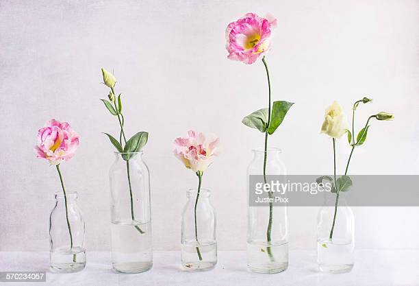 Lisianthus flowers and buds in glass vases
