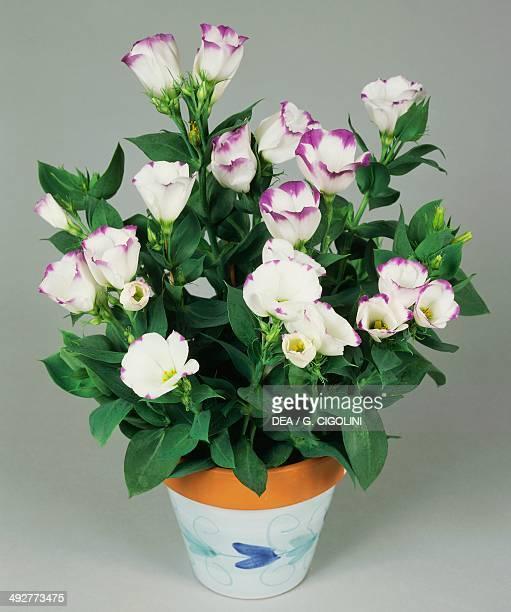Lisianthus or Showy prairie gentian Gentianaceae