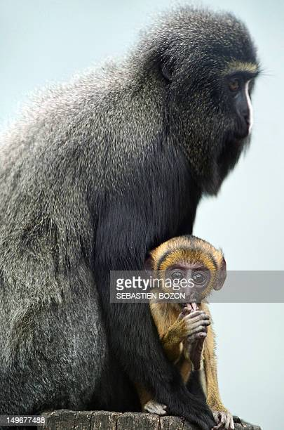Lisimba a twomonthold Hamlyn's monkey cub of the Cercopithecus hamlyni family is pictured with its mother Karmina on August 2 2012 at the zoo in...