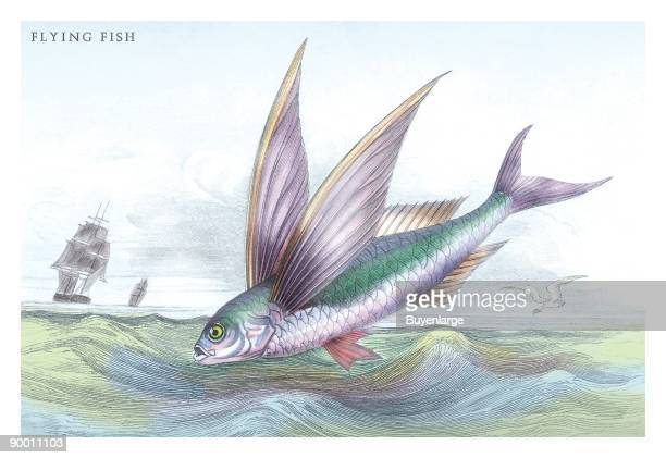 Flying fish stock photos and pictures getty images for Flying fish fleet