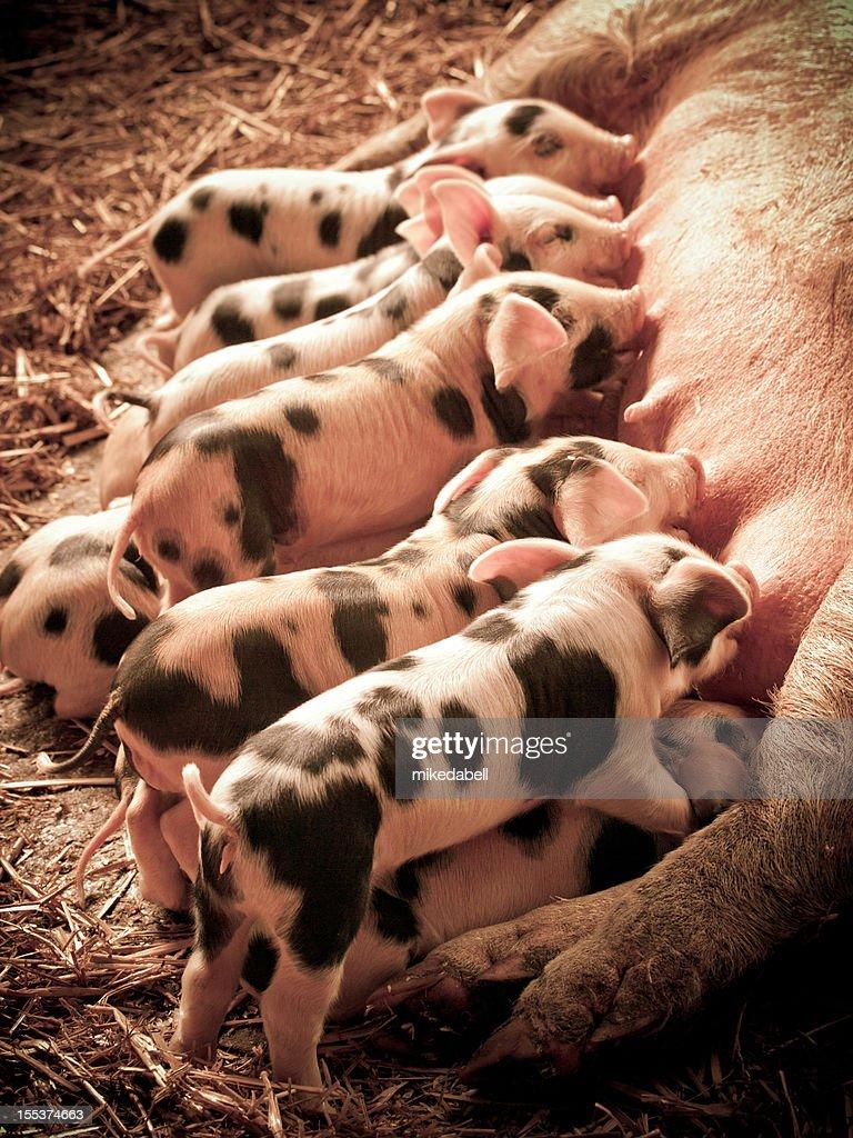 Litter of Piglets