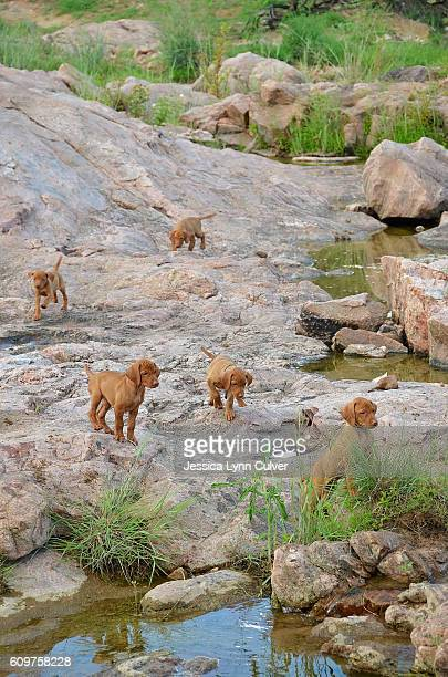 A litter of puppies following each other over a rocky creek bed.