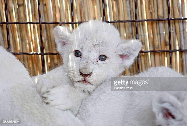 A litter of white lion cubs is presented in their enclosure in the private zoo in the Demydiv village on 11 August2016 The five seven week old male...