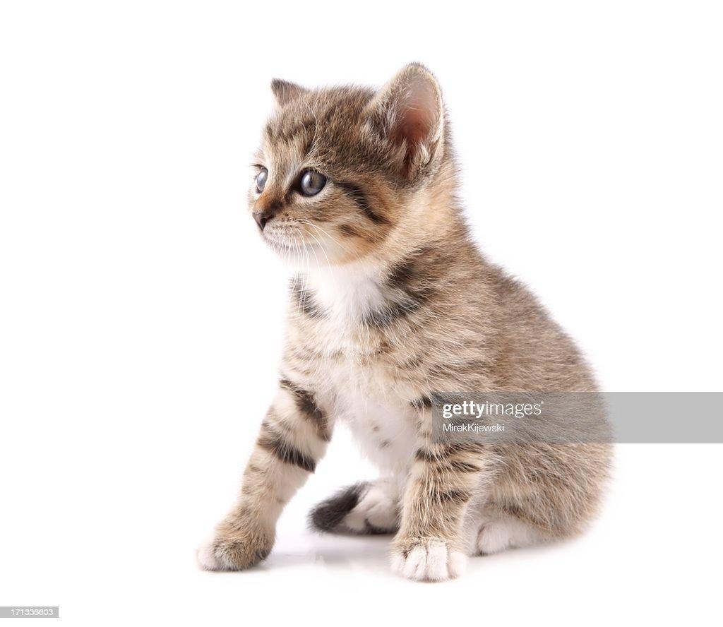 Little 30 day old kitten : Stock Photo