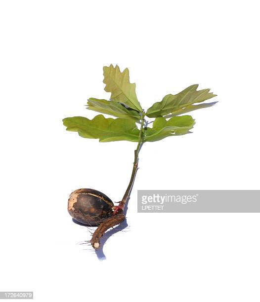 Little acorn into mighty oak