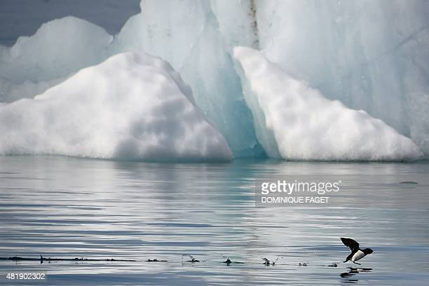 A little auk flies near the Kronebeene glacier in the Svalbard archipelago in the Arctic Ocean on July 21 2015 AFP PHOTO / DOMINIQUE FAGET