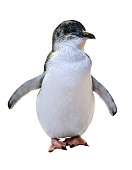 A standing Little Australian Penguin, isolated on white background. Front view. Australian penguins are famous in the following islands: Phillip Island, Penguin Island and Bruny Island.