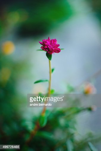 Little beautiful magenta flower