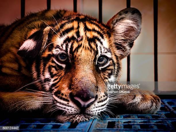 Little Bengal Tiger