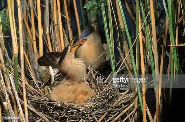 Little bittern (Ixobrychus minutus), male feeding fledglings in the nest, Hortobagy National Park, Hungary, Europe