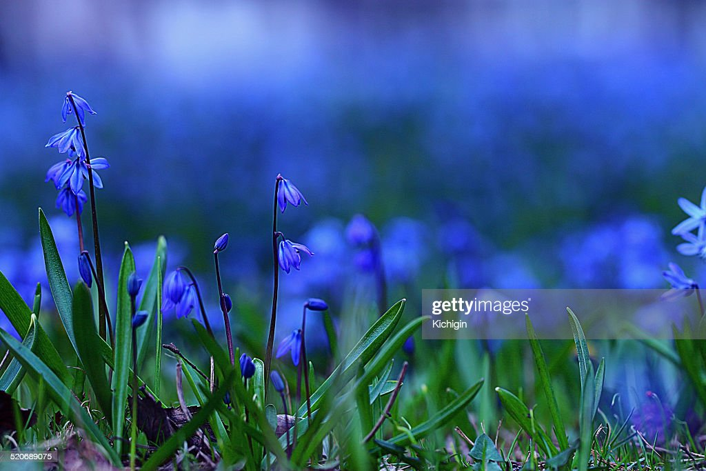 little blue flowers meadow spring background stock photo