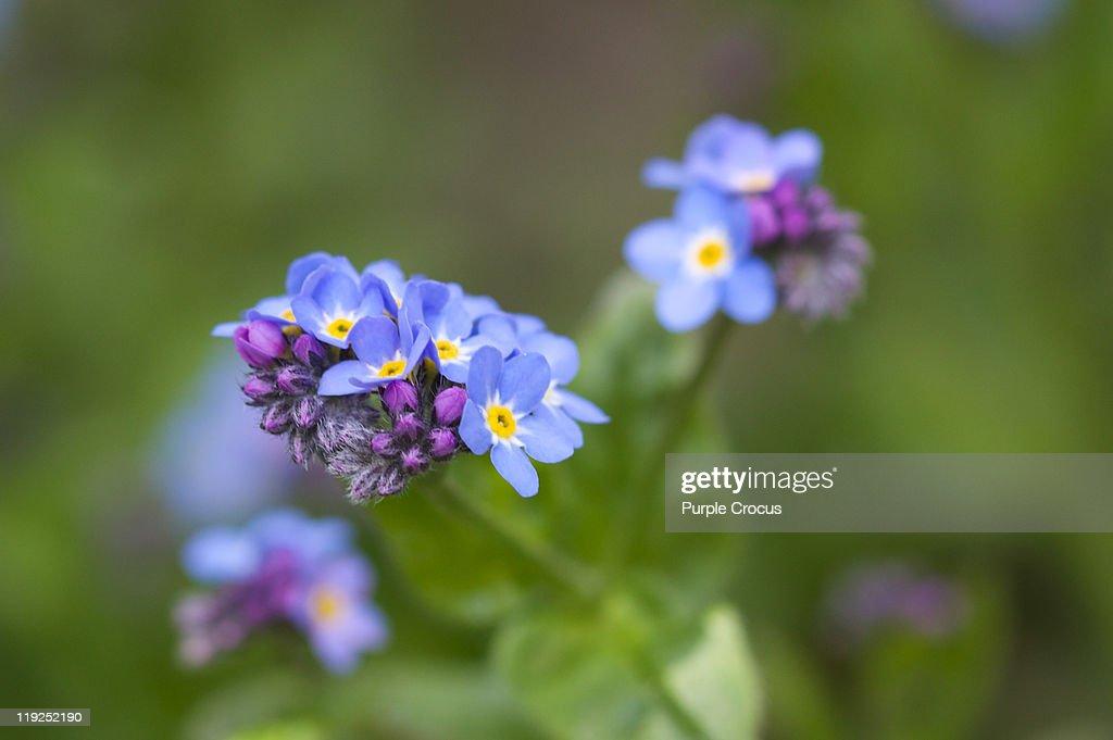 Little blue flowers : Stock Photo