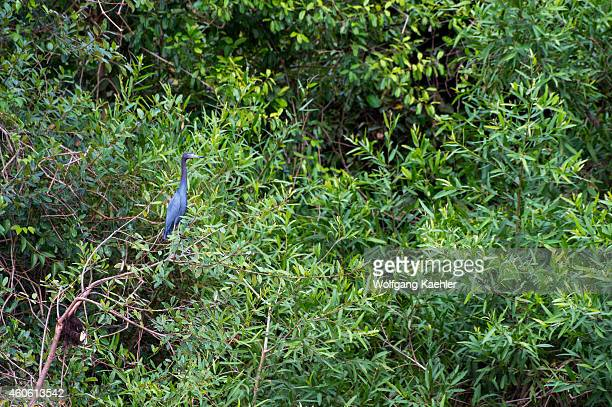 Little blue heron is roosting in a tree along the Pixaim River in the northern Pantanal Mato Grosso province of Brazil