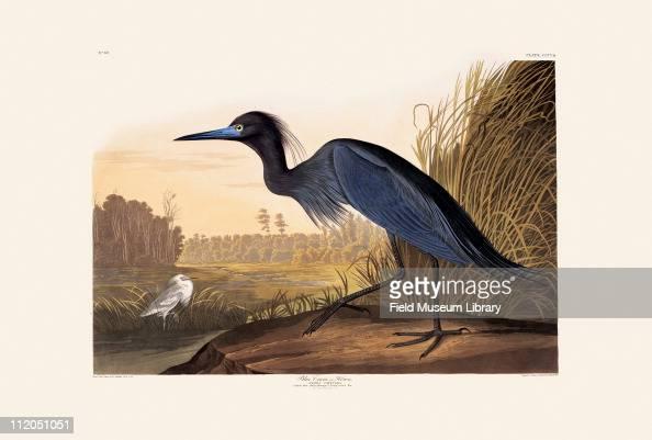 Little Blue Heron Plate 307 in John James Audubon's Birds of America late 1830s