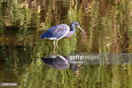 Little Blue Heron Reflection : Stock Photo