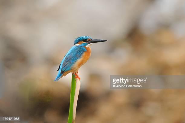 Little Blue King Fisher