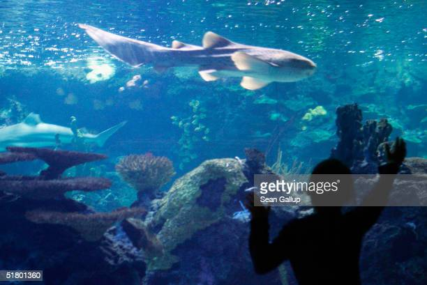 A little boy looks at a shark swim past in a tank at the Berlin Aquarium November 27 2004 in Berlin Germany