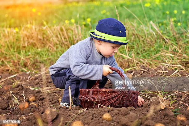 Little boy picking a wicker cart potato field