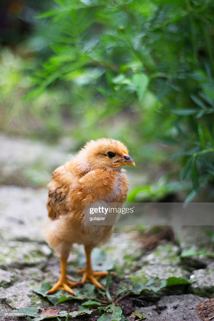 little brown the chicken on the farm : Stock Photo