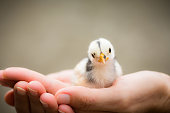 The little chick bird is in female hands, animal care concept.