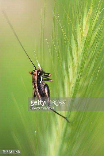 Little cricket : Stock Photo