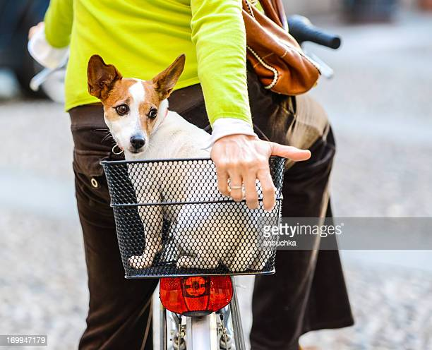 Little cute dog traveling in bike basket