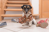 little cute obedient dog holds a shoe by clicker training - Jack Russell Terrier 2 years old