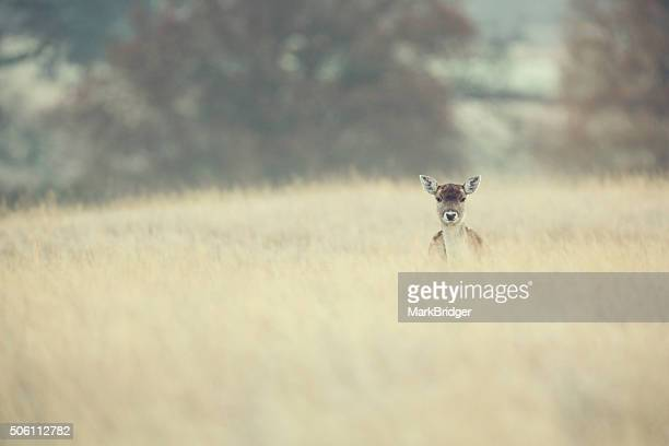 A little deer in a grassy field