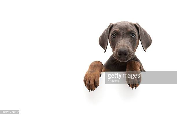 little doberman