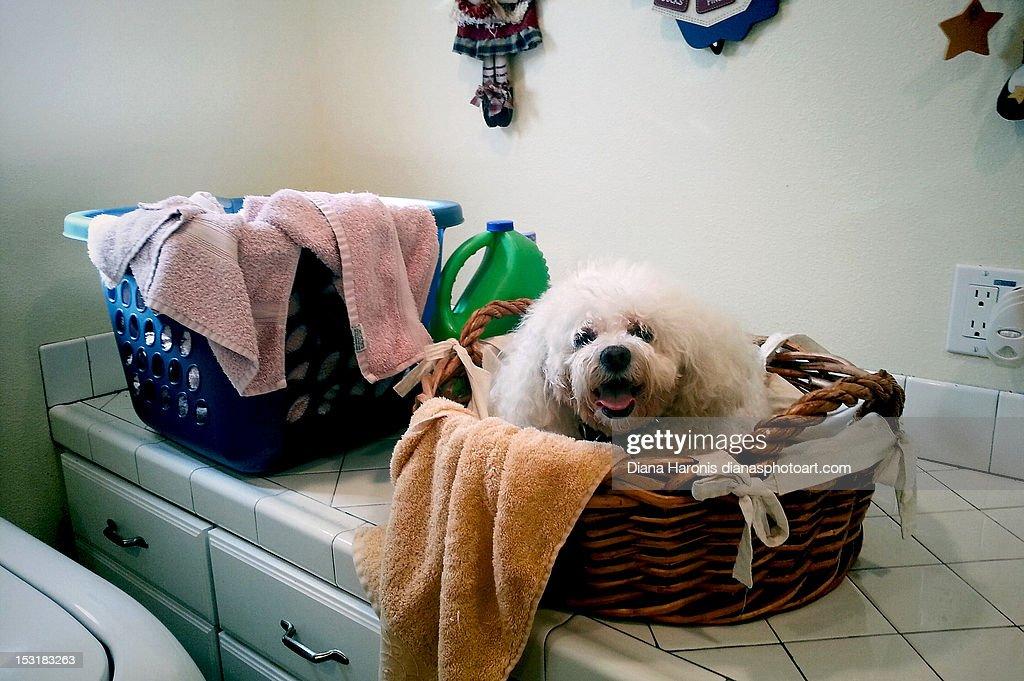 Little dog in laundry basket : Stock Photo