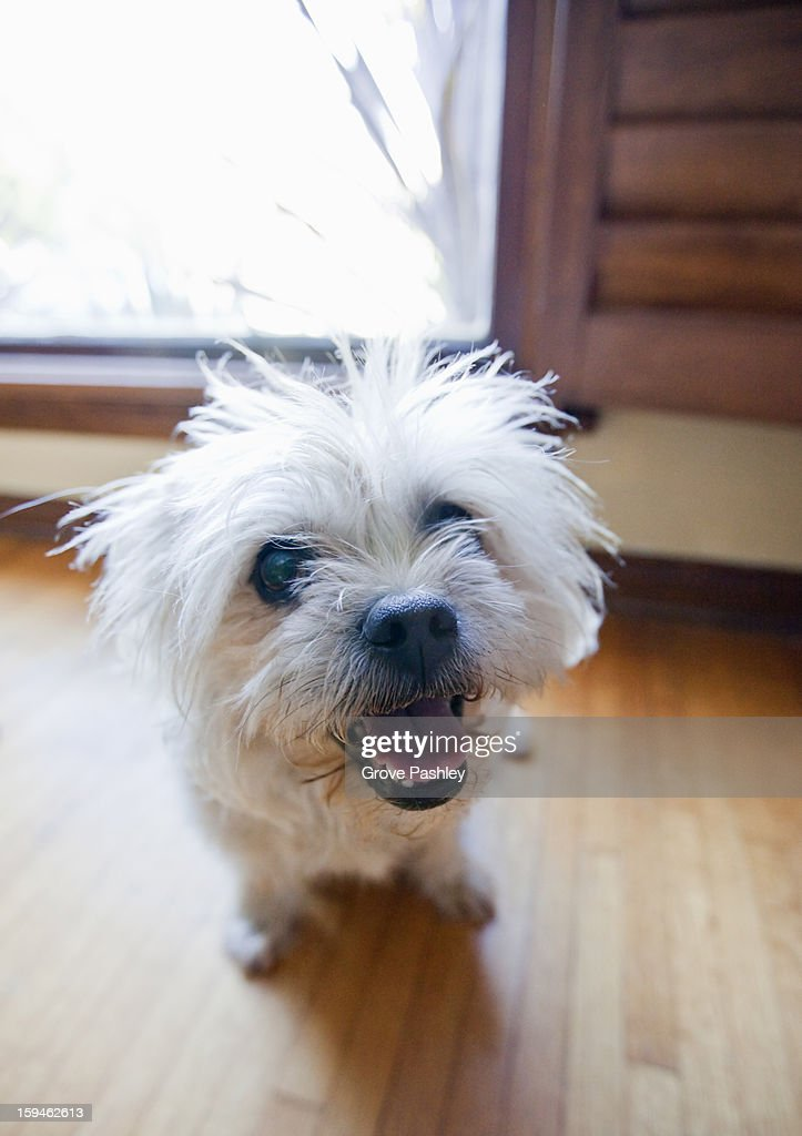 Little dog looking up : Stock Photo