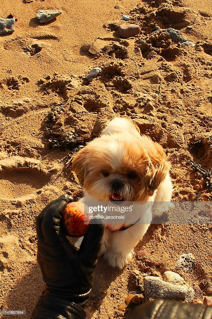 Little dog playing on beach : Stock Photo