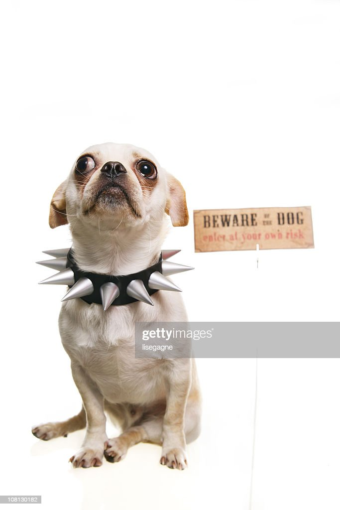 Little Dog Wearing Spiked Collar with Beware of Sign : Stock Photo